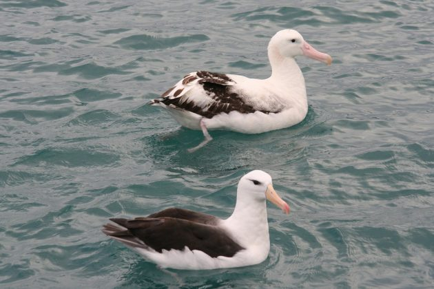 antipodean and black browed albatross