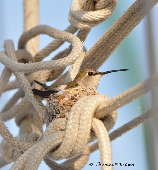 1 Osprey Hummingbird