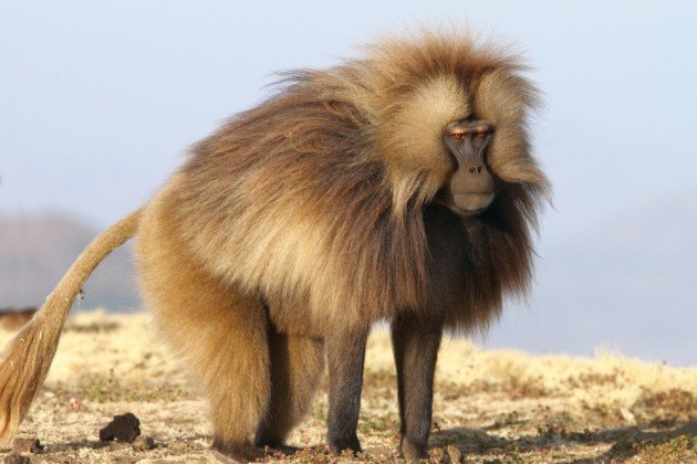 Male Gelada in his prime. Photo by Adam Riley