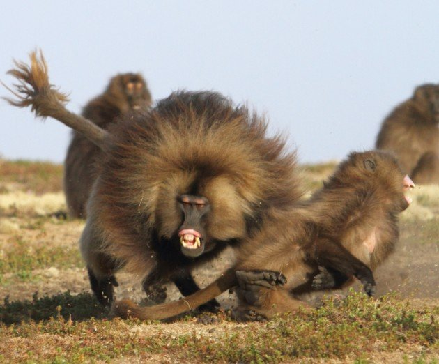 A male Gelada mock attacks a female. Photo by Adam Riley