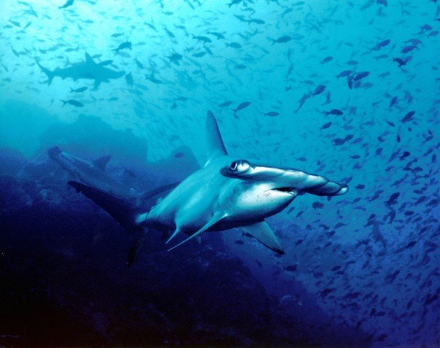 1024px-Hammerhead_shark,_Cocos_Island,_Costa_Rica