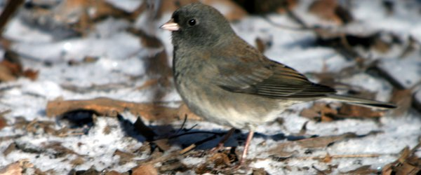 1108-dark-eyed-junco