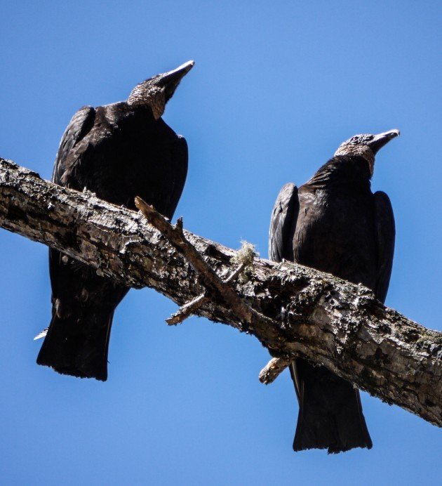 black vulture, birding, fishing, pisgah, forest, north carolina
