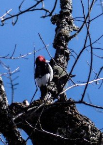 woodpecker, birding, birds, pisgah, forest, north carolina