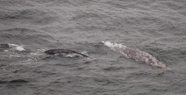 gray whales, point reyes, california