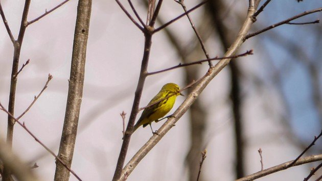 birding, warbler, north carolina