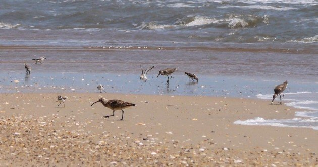 shorebirds, outer banks, birding