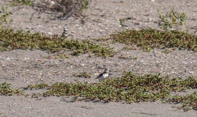 plover, birding, south carolina