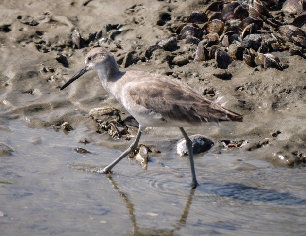 willet, birding, bird, south carolina