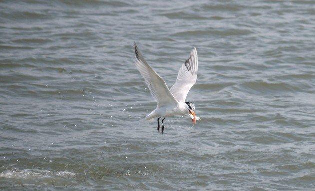 tern, birding, charleston