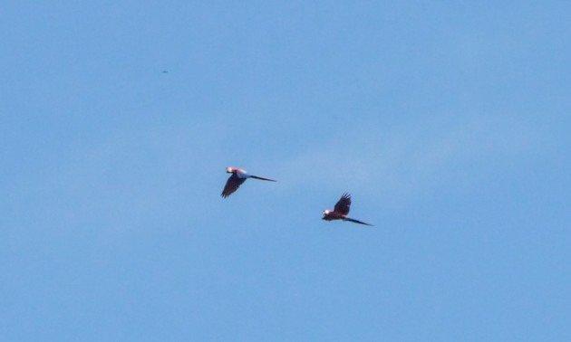 belize, scarlet macaw