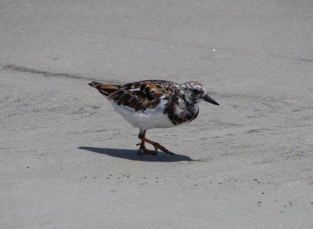birding,  ruddy turnstone