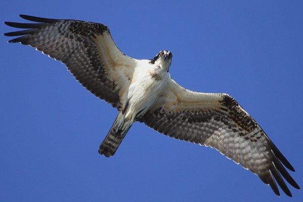 Osprey-overhead.jpg
