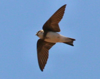Bank Swallow in Flight