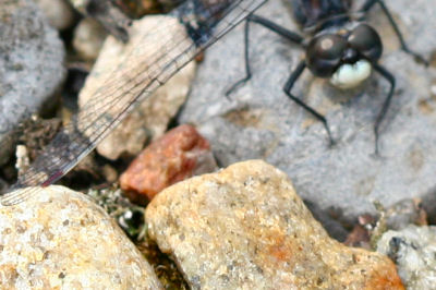 dragonfly wing over rocks