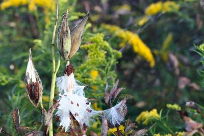 open milkweed pods