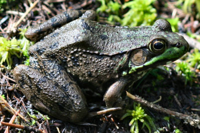 Green Frog in Bloomingdale Bog