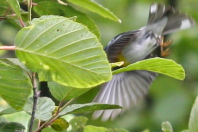 Northern Parula diving for cover