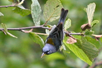 Upside-down Northern Parula