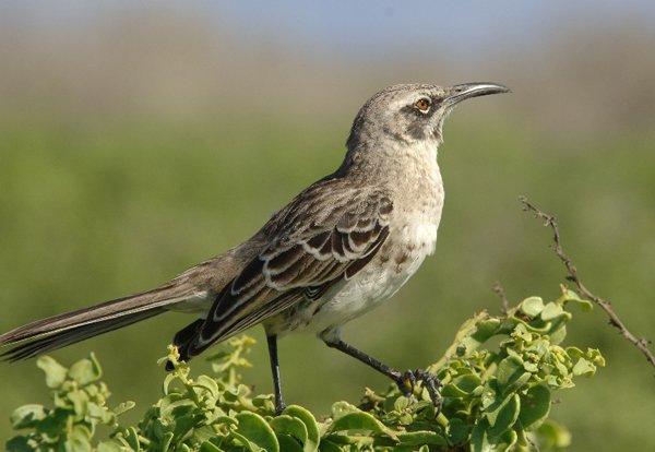 10000 Birds What Is A Mockingbird