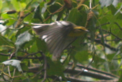 Blackburnian Warbler in flight