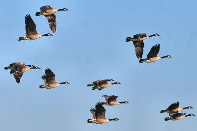 Canada Geese in flight at Montezuma NWR