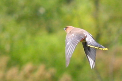 Cedar Waxwing flycatching