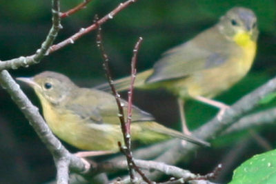two little yellowthroats