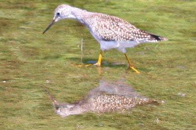 Lesser Yellowlegs at Delta Lake