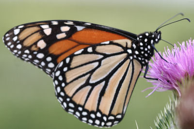 Monarch Butterfly on Great Burdock