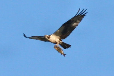 Osprey with prey at Montezuma NWR