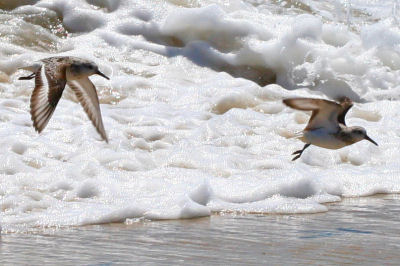 two Sanderlings in flight