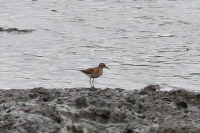 unknown shorebird 2
