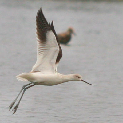 American Avocet taking off