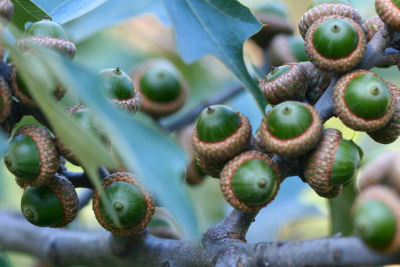 Scrub Oak acorns