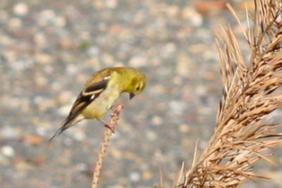 American Goldfinch at the Tech Park