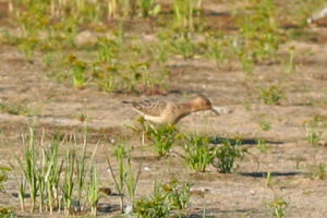 actual Buff-breasted Sandpiper