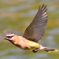 Cedar Waxwing in Flight
