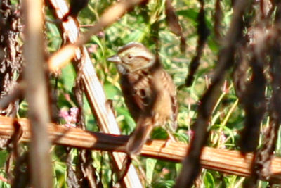 Chipping Sparrow at the Tech Park