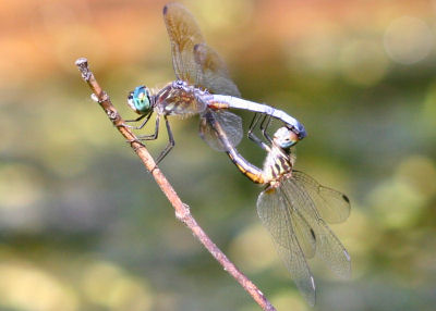 Blue Dasher lovin'