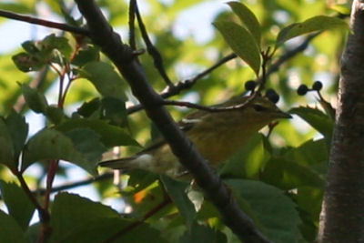 Fall Warbler 1