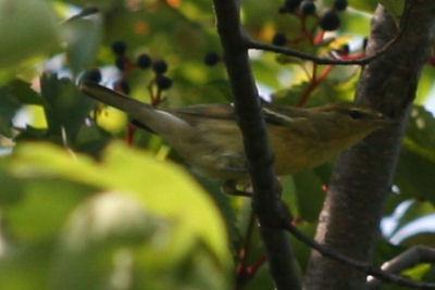 Fall Warbler 2