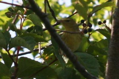 Fall Warbler 3