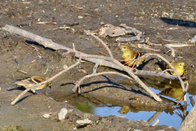 American Goldfinches at puddle