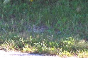 lousy Lark Sparrow pic