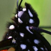 Monarch Macro
