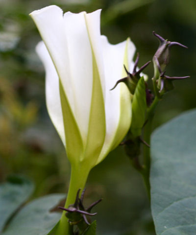 Moonflower Opening