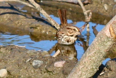 bathing Song Sparrow