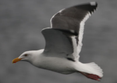 The Atlantic's first Western Gull?