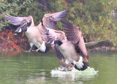 Canada Geese landing